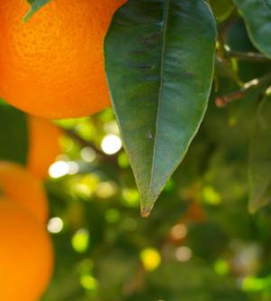 ARI Solar calcula la Huella de Carbono de la producción de una finca citrícola