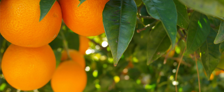 ARI Solar calculates the carbon footprint of producing a citrus farm